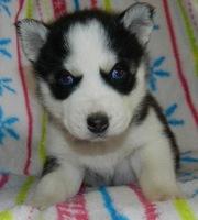 Current Vet Exam Siberian Husky Puppies for Sale